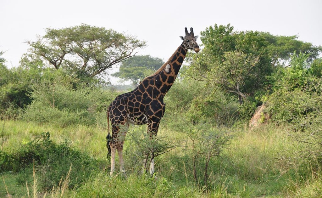Murchison Falls National Park Wildlife Game Drive