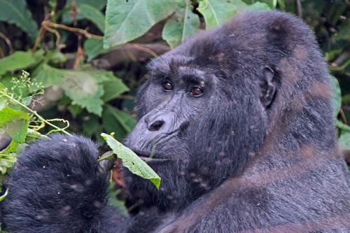 Rwanda Gorilla Safari Express