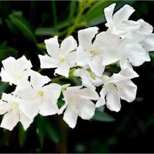 Oleander Flower white