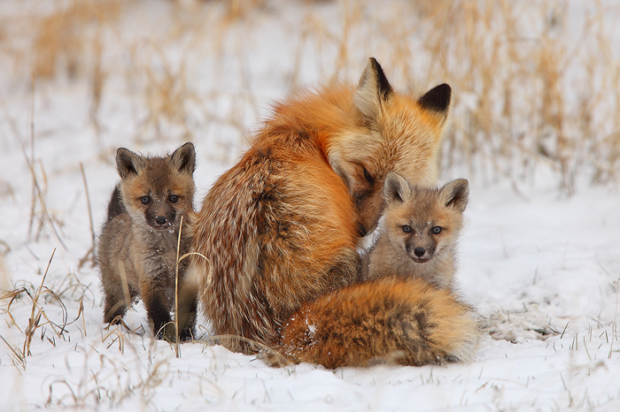 Snow Look What Fox Prints Do