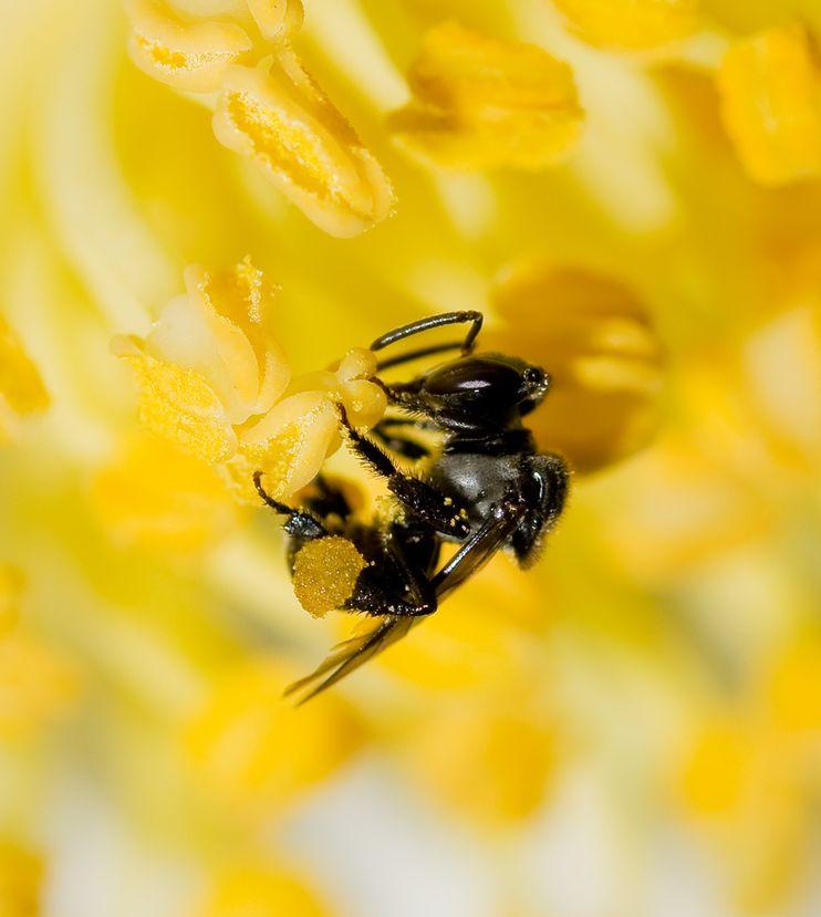 澳洲原生的無刺蜂Tetragonula carbonaria正在採集花蜜。攝影:TOBIAS SMITH