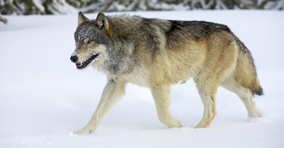 Gray wolf, Lamar Valley, Yellowstone National Park, USA