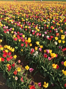 Many colors of tulips!