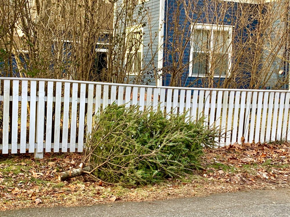 Natick Christmas tree disposal