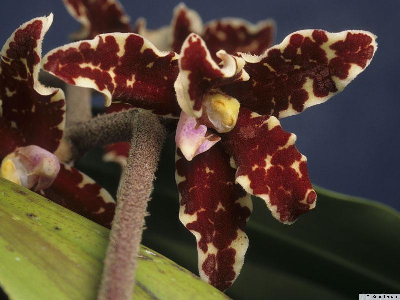 Resultado de imagem para Dimorphorchis lowii