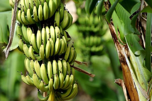 free trade keeps banana republics poor