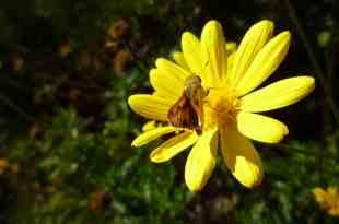 kuwait national flower arfaj flower