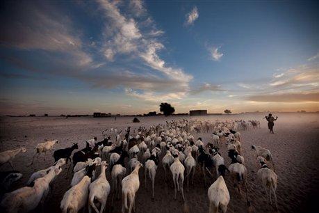 Después de pasar el día pastando en el desierto que rodea la ciudad, un rebaño de ovejas y cabras sigue a su propietario hasta su casa en la periferia de Timbuctú. Fundada por pastores tuareg, Timbuctú todavía tiene en el comercio de ganado una de sus principales fuentes de ingresos.