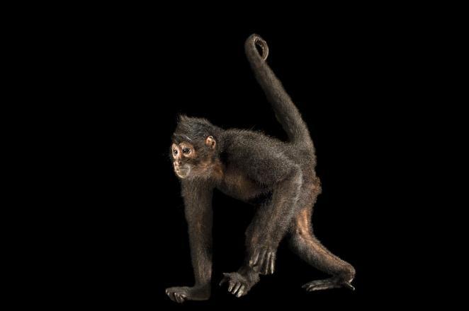 Mono araña de cabeza parda