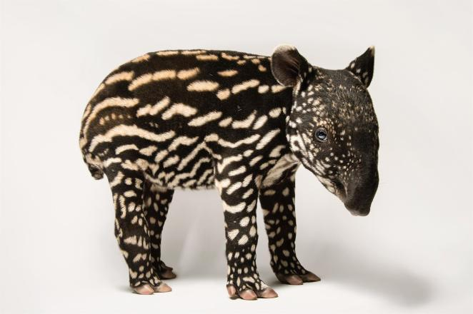 Tapir malayo