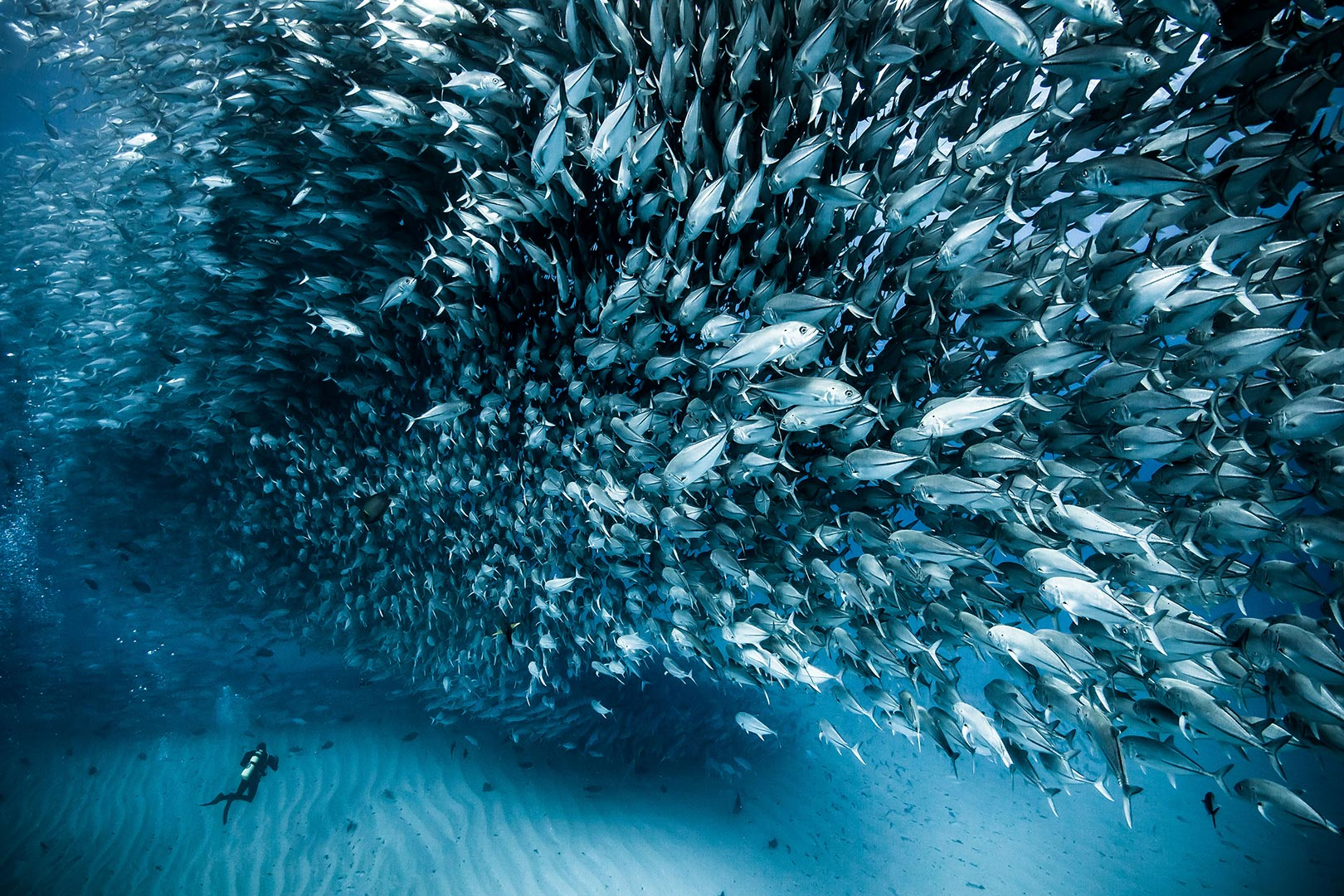 Picture of a diver near a giant school of fish in the Sea of Cortez, Baja California, Mexico