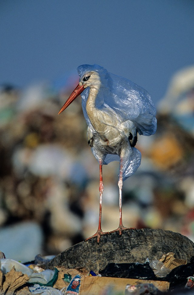 At a landfill in Spain, a stork entangled with a plastic bag was freed by the photographer. Sadly, a single bag can kill more than once.