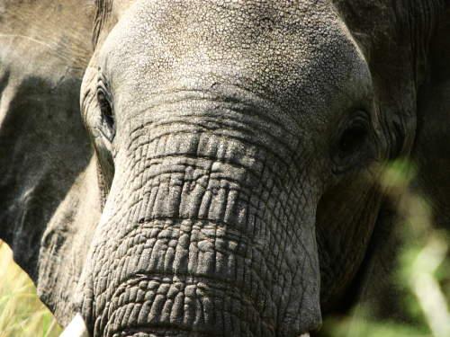TOP 10 TOURIST ATTRACTIONS IN WESTERN UGANDA: Great Elephant herds.