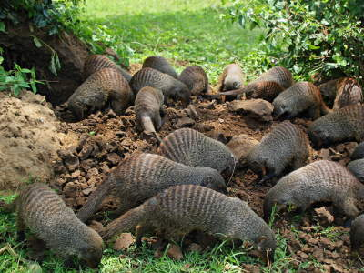 TOP 10 TOURIST ATTRACTIONS IN WESTERN UGANDA: banded Mongoose group.
