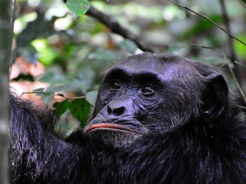 TOP 10 TOURIST ATTRACTIONS IN WESTERN UGANDA: Chimpanzee trekking.