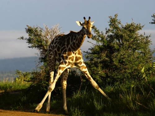 TOP 10 TOURIST ATTRACTIONS IN WESTERN UGANDA: Giraffe.