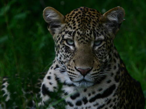 TOP 10 TOURIST ATTRACTIONS IN WESTERN UGANDA: Leopard.