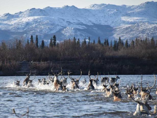 Caribou crossing the Noatak River/NPS, Kyle Joly