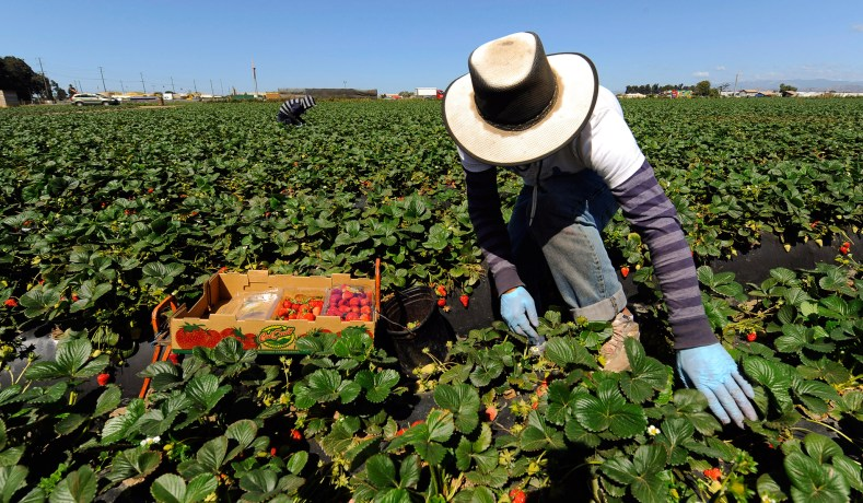 279c8c85c42 Field workers pick strawberries on a farm in Oxnard