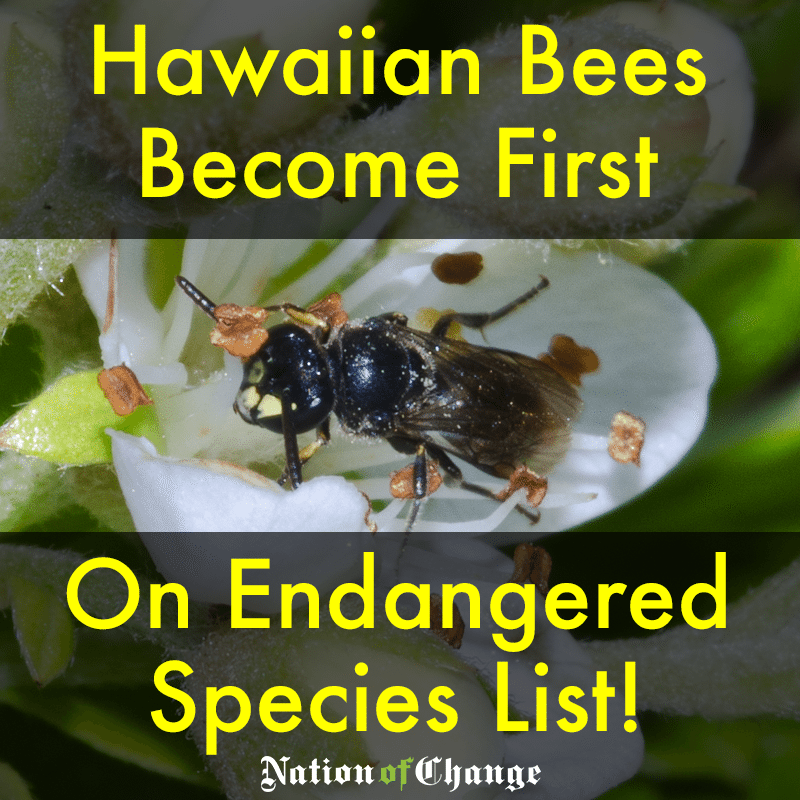 Image result for hawaiian endangered bee