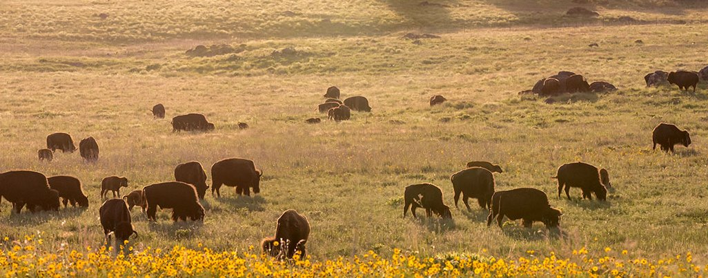 HD Decor Images » Reference Maps of Oklahoma  USA   Nations Online Project Bisons in the Wichita Mountains Wildlife Refuge