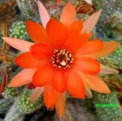 echinopsis-chamaecereus-fiore2