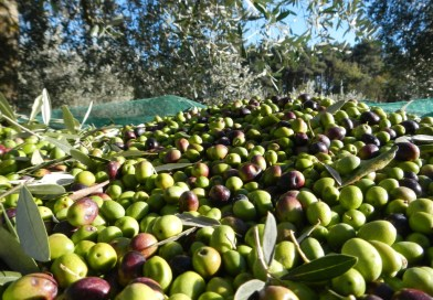 Iniziata la stagione della raccolta delle olive. Primo olio in Sicilia