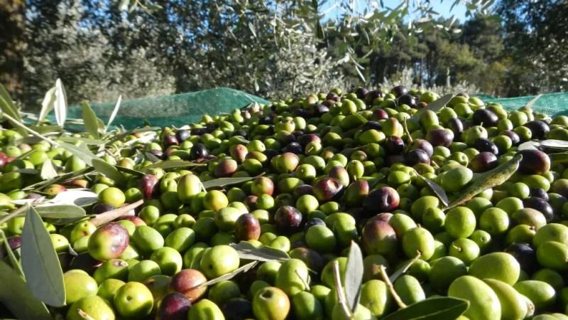 Scarsa la produzione di  olio di oliva in Italia e arriva l'olio tunisino