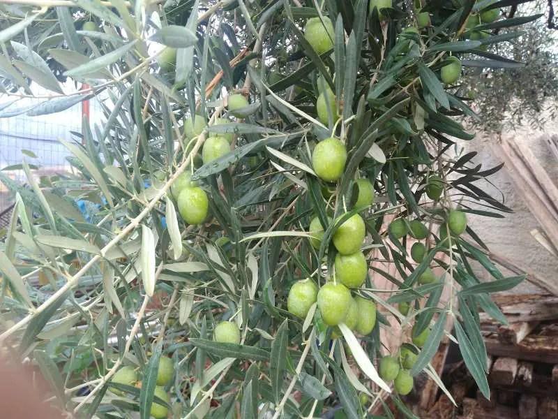Racconto di una raccolta di olive