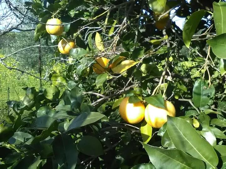 Gli agrumi sono i frutti invernali più amati
