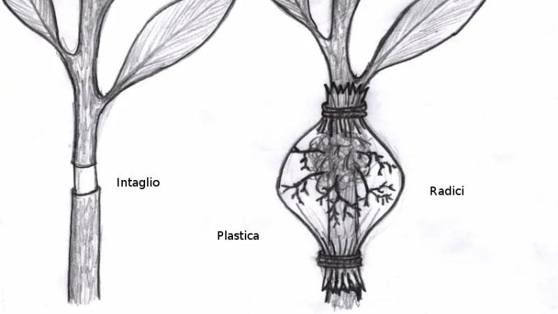La margotta come metodo di riproduzione