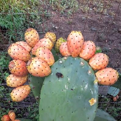 Opuntia - Fico d'India