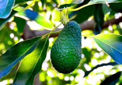 Avocado: il consumo aumenta in Italia, ma è un super frutto?