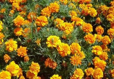 Il Tagete: fiore da giardino, ottimo per l'orto