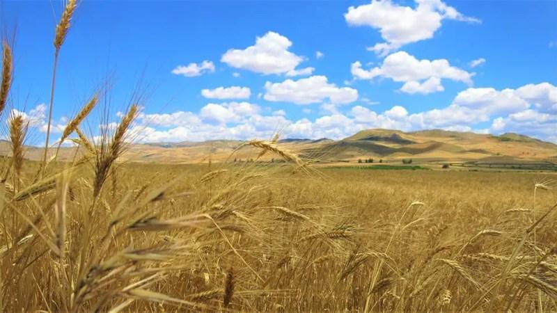 I grani antichi riscoperti in Sicilia