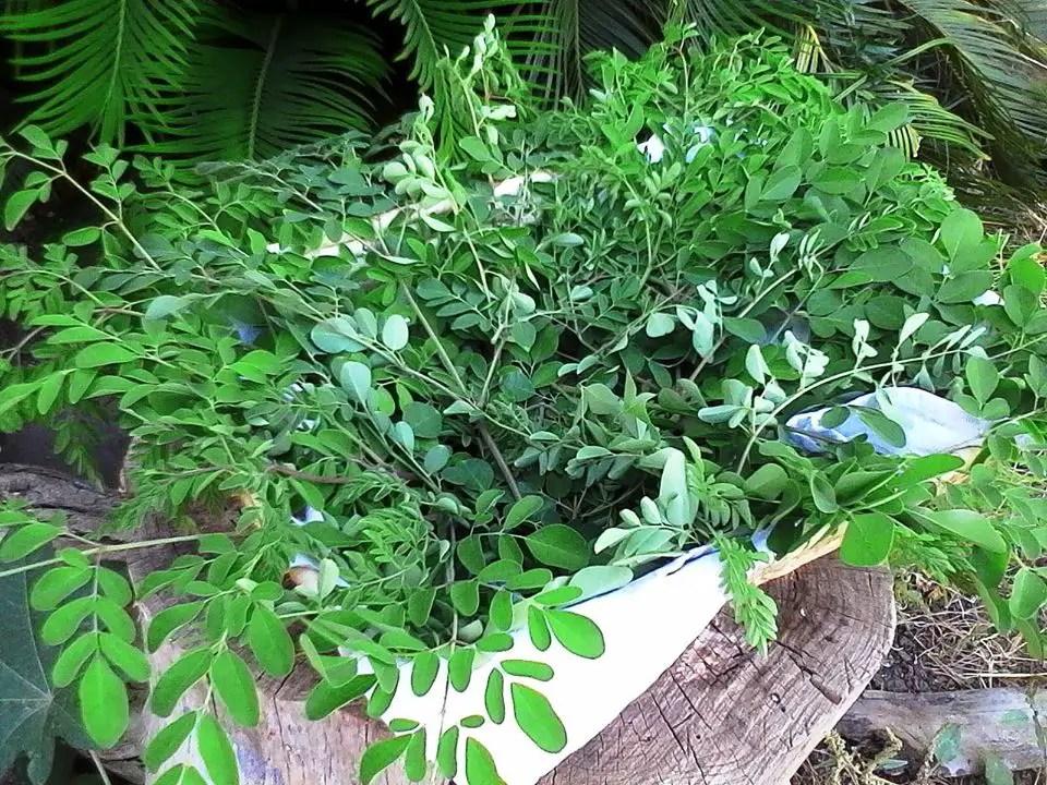 La Moringa Oleifera, una pianta poco conosciuta ma molto ricercata.