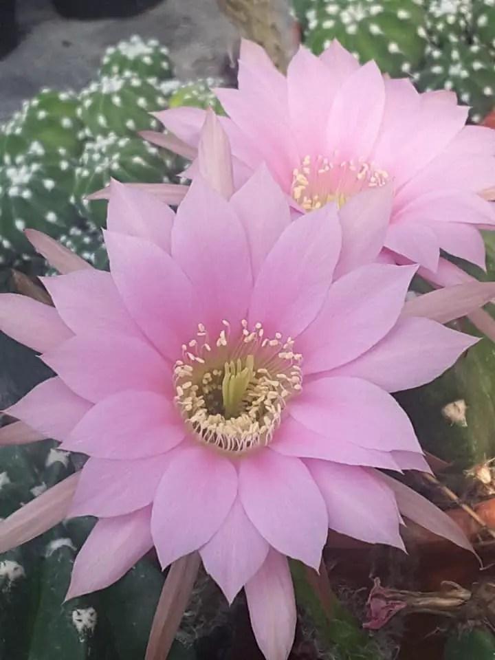 Dal fiore alla pianta: il momento della fioritura delle piante grasse