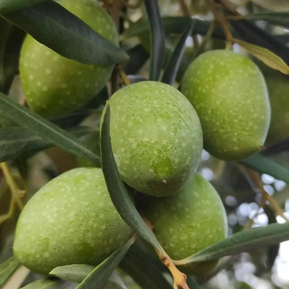 Le tradizionali Olive in salamoia per una conservazione perfetta.