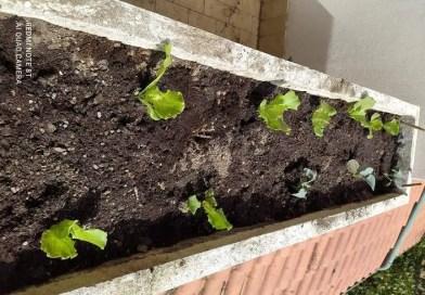 In casa se hai spazio coltivati le lattughe