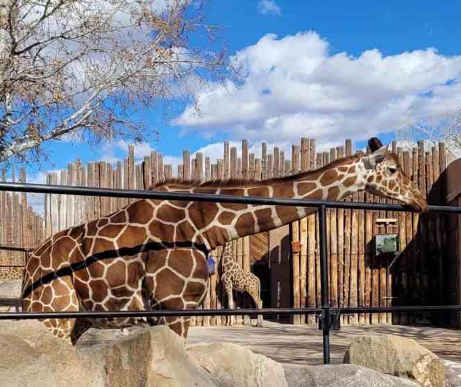 albuquerque zoo giraffe