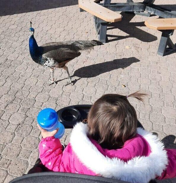 Roaming peacock at albuquerque zoo