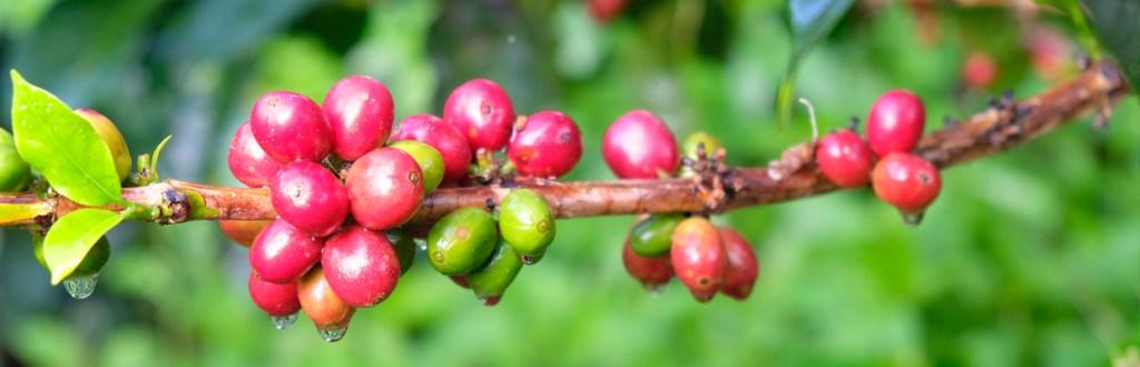 Café de spécialité de micro-lot en agroforesterie. Cerises de café