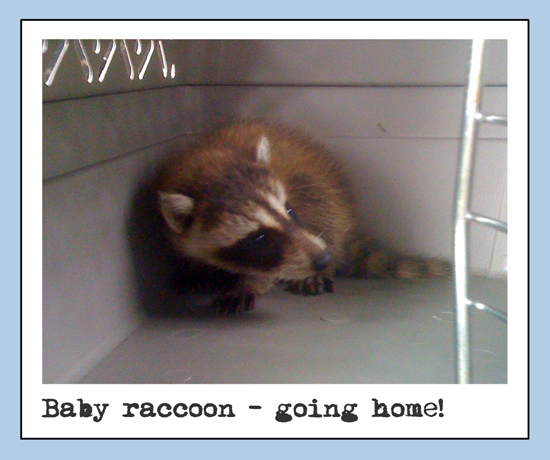 raccoon_3