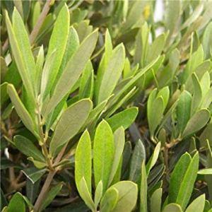 Shop Meeko Olea Europaea paire de mini-série Olive s