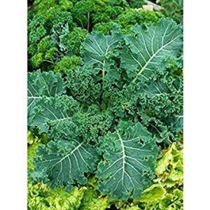 Farmerly 50 Fresh Seeds – Canola Rape – Kale – Sweet, Tender and Crunchy