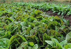 Fash Lady 500 taches de rousseur romaine graines de laitue super 4 salades ez grow combSH A46