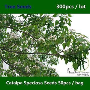 ShopMeeko GRAINES: ^^ Arbre à feuilles caduques Catalpa speciosa ^^^^ 300pcs, Catalpa ^^^^, largement arborés cigares du Nord Catalpa ^^^^