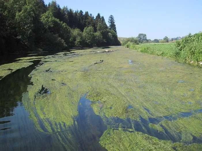 L'eutrophisation consiste en une prolifération anarchique d'algues.