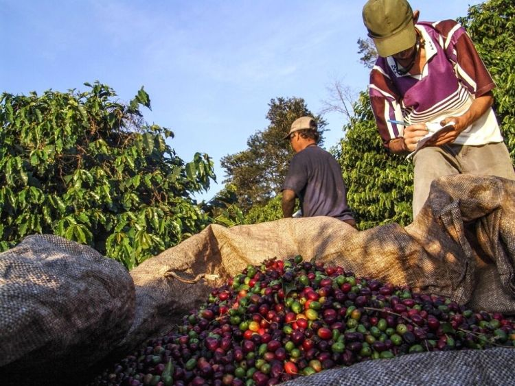cafe-arabica-bresil-menaces-climat
