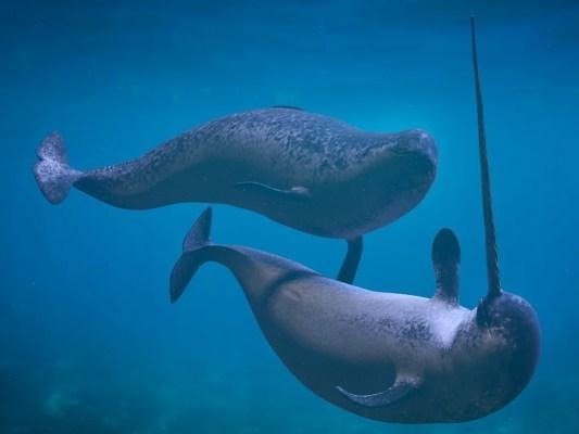 Deux narvals nagent dans les eaux froides de l'Arctique.